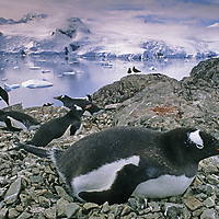 ANTARCTICA. Nesting Gentoo Penguins near Argentina's Primavera Base, Cierva Cove, Antarctic Peninsula.