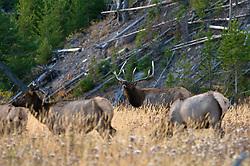 bugling, bull, elk, Yellowstone National Park