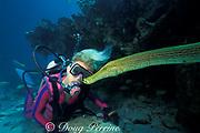 diver and trumpetfish, Aulostomus maculatus, Davis Reef, Islamorada, Florida Keys, Florida Keys National Marine Sanctuary ( Western Atlantic Ocean )    MR 113