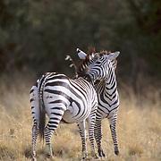 Burchell's Zebra, (Equus burchelli) Adults grooming each other. Masai Mara Game Reserve. Kenya. Africa.