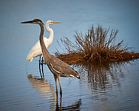 Tricolored Heron and Great Egret. Black Point Wildlife Drive, Merritt Island National Wildlife Refuge. Image taken with a Nikon D3s camera and 80-400 mm VR lens (ISO 200, 280 mm, f/5.6, 1/800 sec).