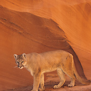 Mountain Lion or Cougar (Felis concolor) in the slot canyons of northern Arizona. Captive Animal