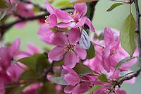 Crabapple Blossom