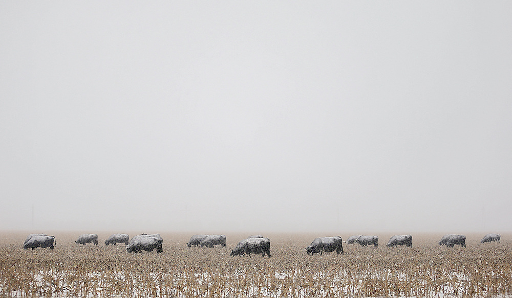 Unfazed by the falling snow, cattle continue to graze in a field south of Highway 34 near South Locust Street Thursday in Grand Island. The National Weather Service in Hastings predicts 10 to 14 inches to fall in the area and expects the snow to continue into Thursday evening as the storm moves east. (Independent/Matt Dixon)