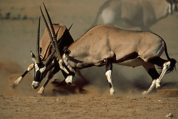 Sept. 29, 2015 - Gemsboks, fighting, Kalahari Gemsbok Park, South Africa  (Credit Image: © Sator, Whj/DPA via ZUMA Press)