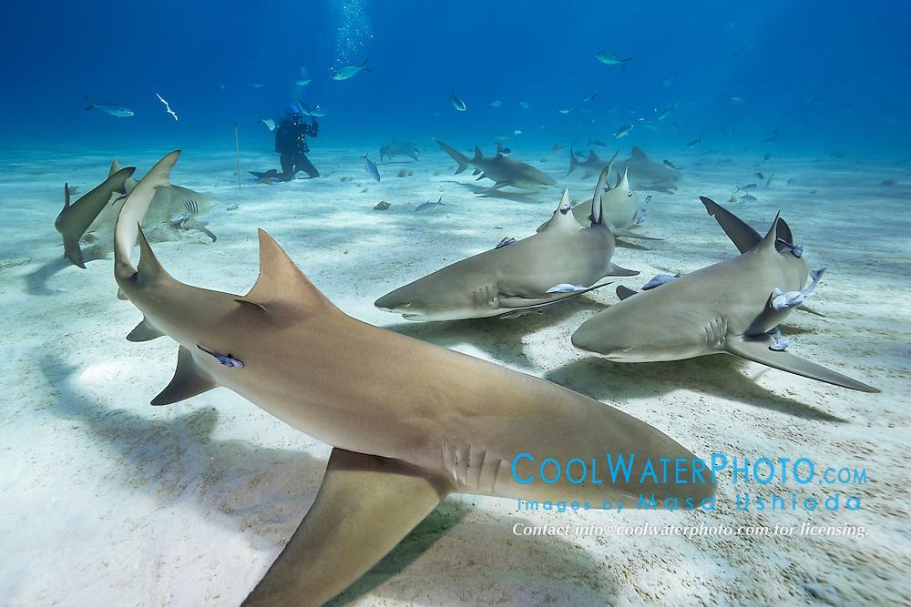 lemon sharks, Negaprion brevirostris, and woman scuba diver, Grand Bahama, Bahamas, Caribbean Sea, Atlantic Ocean, model released