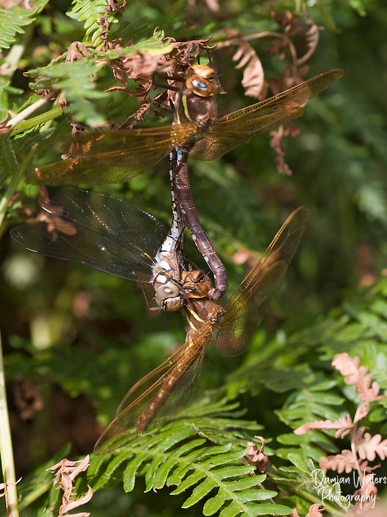 Brown Hawker dragonfly, Aeshna grandis, two adults mating while the female is eating a Migrant Hawker