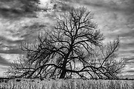 Spreading tree, Co Rd 30, Windsor CO