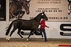 068, Statesman<br /> BWP Hengstenkeuring 2021<br /> © Hippo Foto - Dirk Caremans<br />  11/01/2021