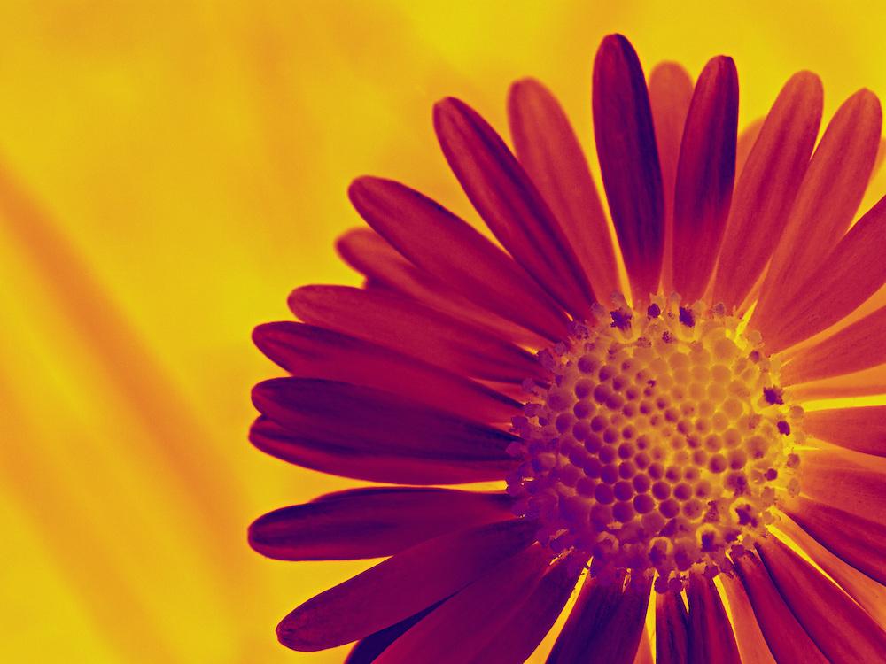 Flower in pop art