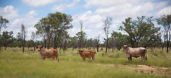 Cattle graze on green pasture in the Kimberley wet season.