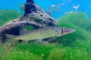 Chain Pickerel, Underwater