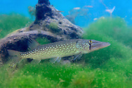 Chain Pickerel<br /> <br /> Isaac Szabo/Engbretson Underwater Photography
