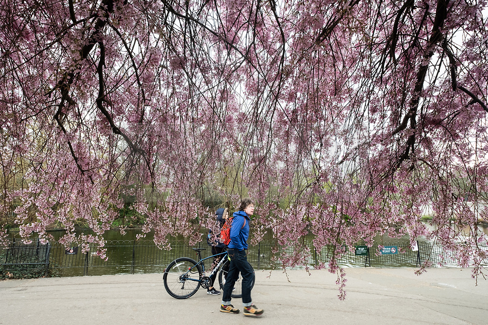 © Licensed to London News Pictures. 25/03/2021. London, UK. People walk past a Cherry Blossom tree in St James Park. This year the trees have reported to bloom earlier than last year. Photo credit: Ray Tang/LNP