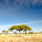 An acacia tree stands out against the blue skies at Tarangire National Park in northern Tanzania not far from Ngorongoro Crater and the Serengeti.