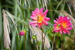 Dahlia 'Karma Fuchsiana' in front of Miscanthus 'Silver Feather' - Miscanthus sinensis 'Silberfeder'