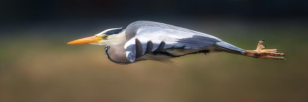 Gray heron in Flight, on a green and blue background   Gråhegre i flukt, på en grønn og blå bakgrunn.