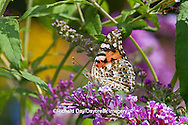 03406-01206 Painted Lady butterfly (Vanessa cardui) on Butterfly Bush (Buddleia davidii) Marion Co., IL