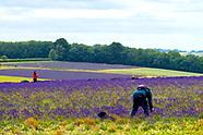 Cotswald lavender farm