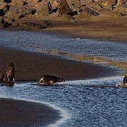 Northern Fur Seal (Callorhinus ursinus)  St. Paul, Pribilof Islands. Alaska.