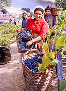 A series of images about port wine production in Portugal c 1960 -people harvesting grapes in baskets