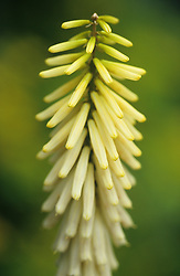 Kniphofia 'Little Maid' - Red hot poker, Torch lily
