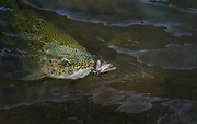 Rainbow trout on Idaho's Henry's Fork hunts through the murky runoff of spring to find egg laying female salmonflies. Ran in TFFJ 2018