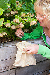 Carol Klein collecting the last remaining hellebore seeds