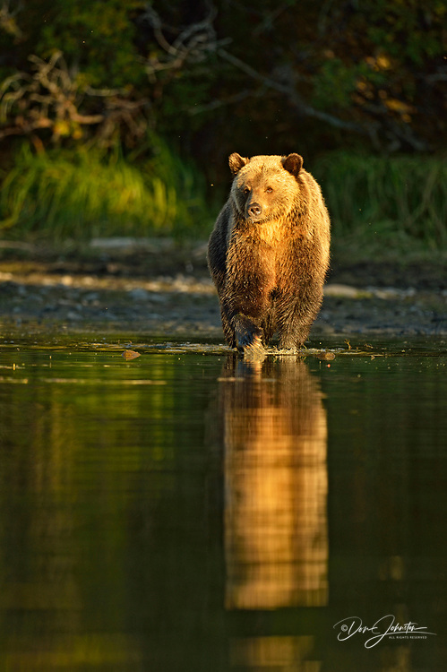 Grizzly bear (Ursus arctos)- Cubs on shore of a salmon river, Chilcotin Wilderness, BC Interior, Canada