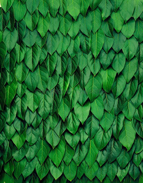 Lemon tree leaves