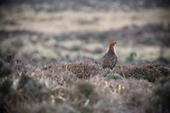 Red Grouse - Lagopus lagopus scotica - male. Stanage Edge, Peak District National Park, Derbyshire.