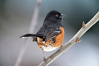Spotted Towhee (Pipilo maculatus) perched on branch, Gabriola, BC, Canada