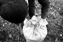 01/12/2010 Acquaviva delle Fonti, chiusura di un sacco pieno di olive...La raccolta delle olive e la produzione dell'olio extravergine sono un rituale che si protrae da moltissimo tempo in Puglia, questo avviene solitamente nel periodo che va da novembre a dicembre, mentre il lavoro di preparazione e coltivazione si svolge lungo tutto l'arco dell'anno..La raccolta è seguita nella maggior parte dei casi, quando le olive non vengono vendute all'ingrosso, dalla molitura presso gli oleifici per la produzione di quello che da queste parti viene chiamato anche oro verde..