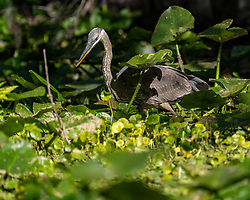 Little Blue Heron hunting on the Silver River in Ocala Florida.