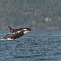 Members of L Pod, a resident group of Orcas, or killer whales (Orcinus orca) in the waters of Puget Sound.  Photo by William Byrne Drumm.