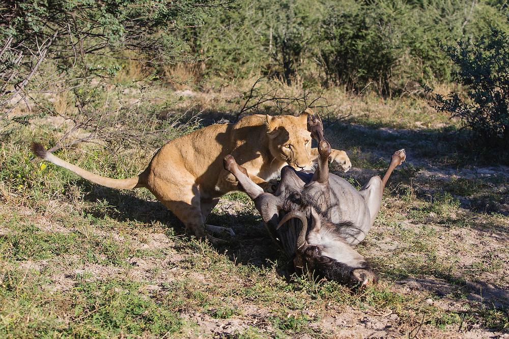 A lioness on a wildebeest kill (Panthera leo), Kalahari, Botswana, Africa