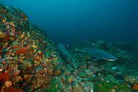 Whitetip Reef Shark (Triaenodon obesus) on a deep seamount<br /><br />Coiba Island<br />Coiba National Park<br />Panama<br /><br />Bajo Veinte dive site