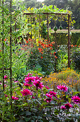 Mixed gourds - Lagenaria - growing over a metal pergola with Dahlia 'Olympic Fire' around the base in the potager at De Boschhoeve. Dahlia 'Sayonara' in the foreground