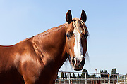 Close up of a horse. with blue sky background