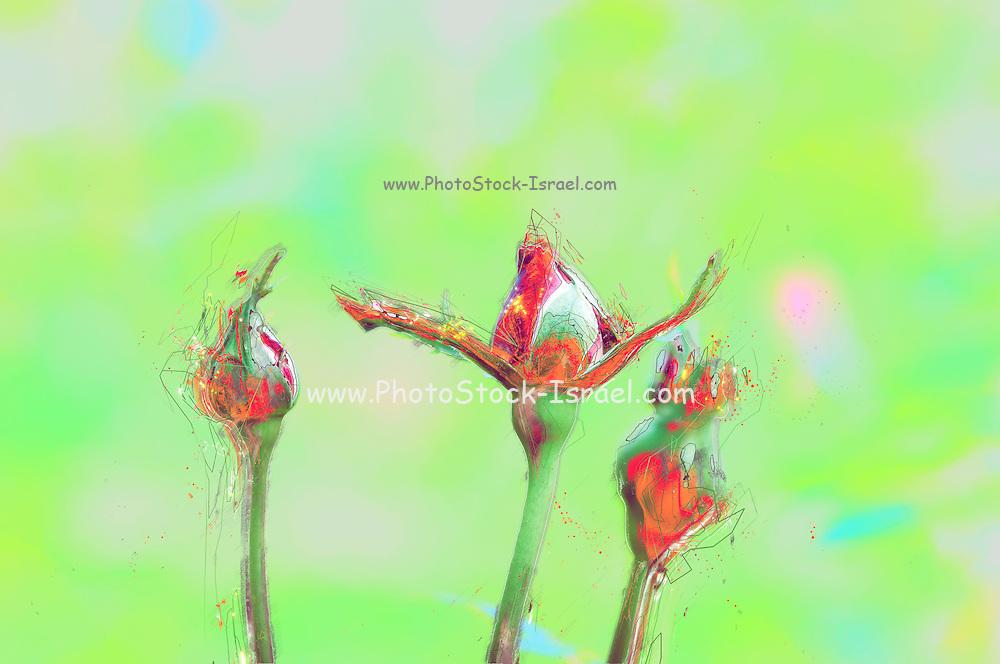 Digitally manipulated red Rose bud