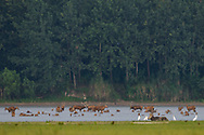 Père David's deer, or Milu, Elaphurus davidianus, a herd bathing and walking in the water of the Yangtze river in Hubei Tian'ezhou Milu National Nature Reserve, Shishou, Hubei, China