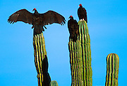 MEXICO, BAJA CALIFORNIA SOUTH Buzzards perched on giant Cardon cactus while drying their wings at sunrise