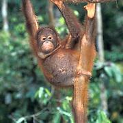 Orangutan, (Pongo pygmaeus) Juvenile hanging from vine in rain forest. Northern Borneo. Malaysia. Controlled Conditons.