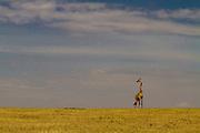 Lone giraffe on the vast plains of Serengeti National Park, Tanzania.