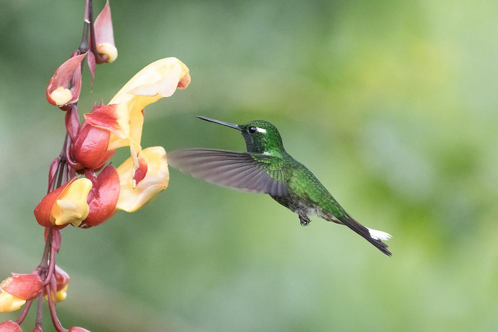 Urosticte benjamini, Ecuador