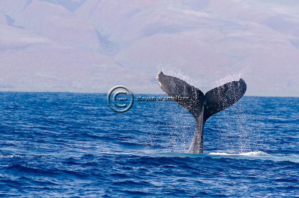 Humpback Whale, Megaptera novaeangliae, Tail Wave, Maui Hawaii
