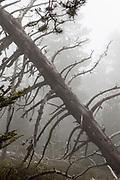 Moody forest in the fog. Col de Mantet, Pyrenees Orientales, France. Reserve Naturelle nationale de Mantet.