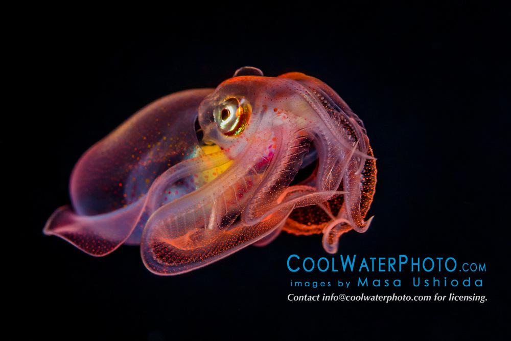 diamondback squid, Thysanoteuthis rhombus, juvenile, a pelagic squid, adult can reach 1 m in length, offshore at night, Kona Coast, Big Island, Hawaii, USA, Pacific Ocean