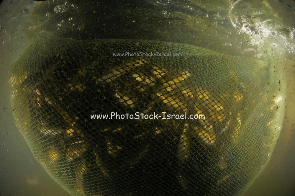 Israel, Coastal Plains, Kibbutz Maagan Michael, Harvesting Carp (Cyprinidae) The fish caught in the net as seen from underwater