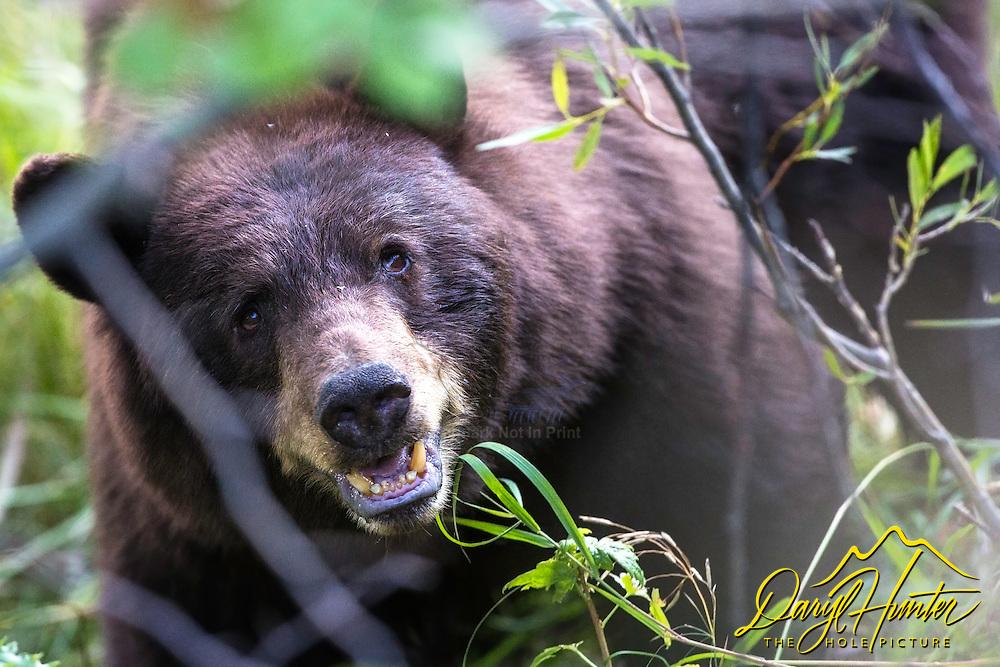 Black Bear Portrait, Grand Teton National Park